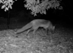 Fox arriving 4.27am 18 June 12 close