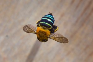 Blue Banded Bee - 20 Mar 13 - Alan Moore low res