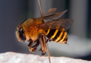 Blue Banded Bee - 22 Mar 12 - Alan Moore