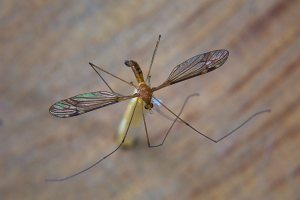 Crane Fly - 20 Mar 13 - Alan Moore low res