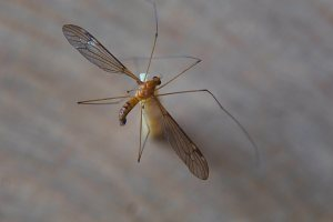 Crane Fly rear - 20 Mar 13 - Alan Moore low res