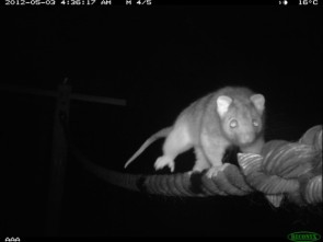 Ringtail on rope bridge