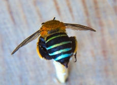 Blue-banded Bee  Photo: Alan Moore