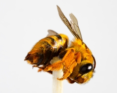 Teddy Bear (native) Bee 2 - Alan Moore - 3 Apr 2013