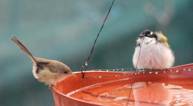 Red-backed Fairy Wren and White-throated Honey-eater