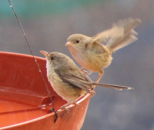 Red-backed Fairy-wrens