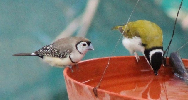 Double-barred Finch and White-faced Honey-eater