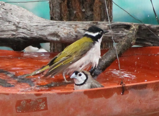 Honey-eater and Finch