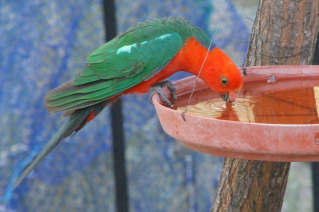 King Parrots require deep tree hollows to nest in, which are rare in our environment