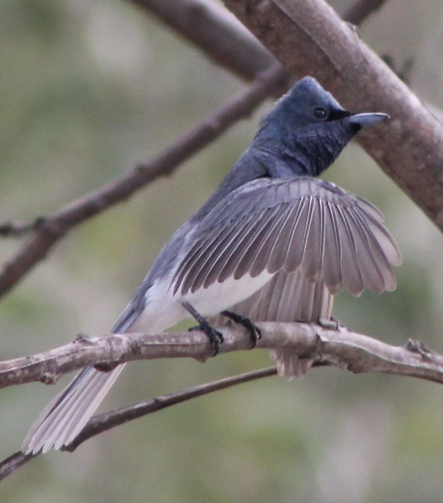 Satin Flycatcher, a new and rare vsitor