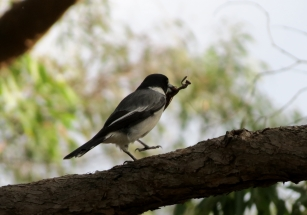 Grey Butcherbird - lunch 2 - 6 May 2013 crop