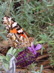 Australian Painted  Lady - 14 Sept 2013