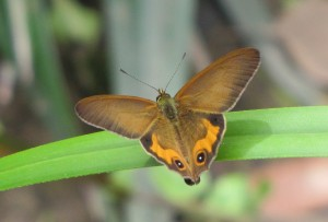 Orange-streaked Ringlet butterfly