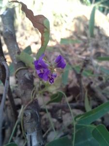Native Sarsaparilla Hardenbergia violacea
