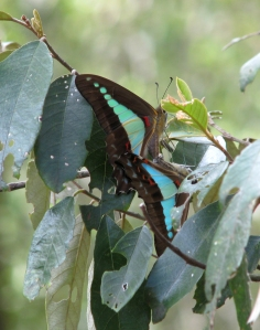 Blue Triangle - mating - Dec09