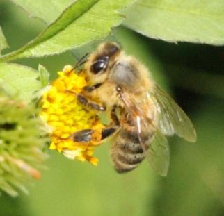 IMG_2416_Bee-on-cobblers-peg