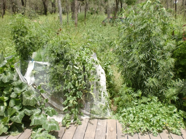 The pathway to my place is between the net covering the wiking bed garden on the left and the tall weeds on the right.