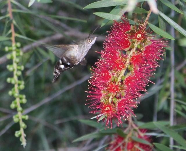 Hummingbird Hawkmoth, <em>Macroglossum micacea</em>, Wilkesdale, SE QLD, Australia