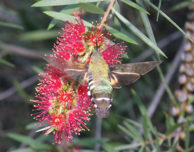 Macroglossum sp. Wilkedale, Australia