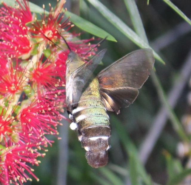 IMG_1236-Macroglossum sp. Wilkedale, Australia