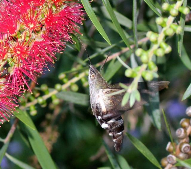IMG_1255-Macroglossum sp. Wilkedale, Australia