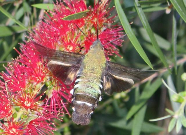 IMG_1258-Macroglossum sp. Wilkedale, Australia