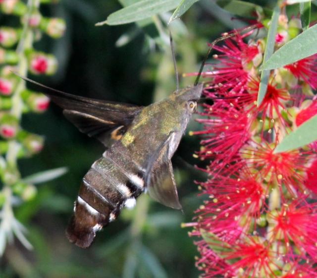Macroglossum micacea, Wilkesdale, SE QLD, Australia