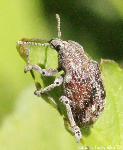A weevil beetle.