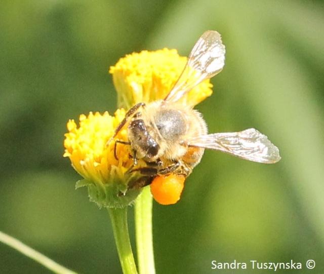 Honeybee loaded with nectar, on a cobbler's peg flower.