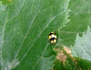 Fungus-eating Ladybird Beetle - Abbeville - 22 Mar 2015