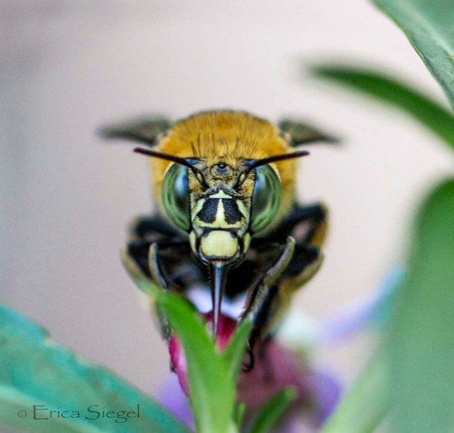 A blue banded bee  in flight, extending her long multi-part tongue towards a Buddleia flower at Redland City, Queensland. Image retrieved from http://www.aussiebee.com.au/blue-banded-bee-siegel-jul2013.html