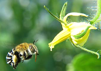 Blue Banded Bee on its way to pollinate a tomato flower. Image retrieved from http://www.aussiebee.com.au/beesinyourarea.html