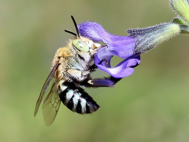 Blue Banded Bee love purple flowers. Image retrieved from http://theplanthunter.com.au/uncategorized/bee-hotel/