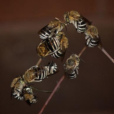 Blue-banded Bee, Amegilla cingulata