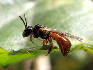 Exoneura Lantana Reed Bee