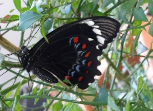 Orchard Swallowtail - female - 2 Jan 2016