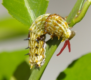 Orchard Swallowtail - larva Ba - Dec08