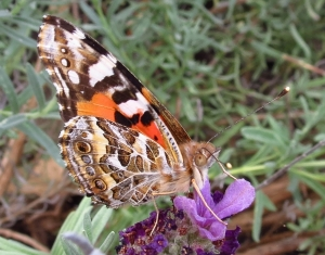 Australian Painted  Lady - 14 Sept 2013 close