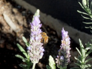 Bee Lavender - 25 June 2016