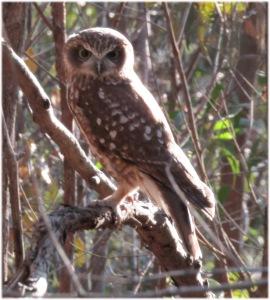 Southern Boobook Owl Ninox novaeseelandiae - 27 May 2016 - T Ashworth