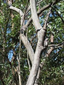 Tawny Frogmouth - Podagus strigoides - 13 Oct 2012