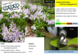 native-wisteria