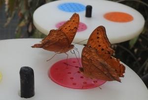 cruiser-vindula-arsinoe-proboscis-nectar-18-june-2016