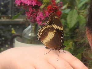 varied-eggfly-hypolimnas-bolina-18-june-2016