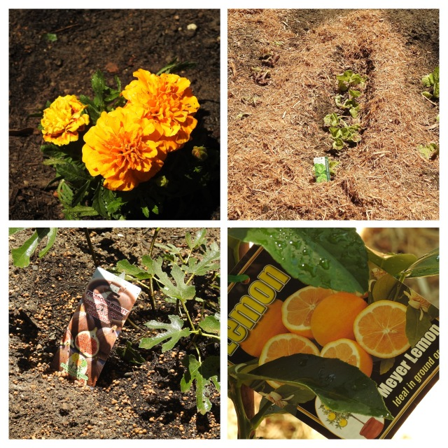marigold-flowers-for-mosquito-control-31-jan-2016-lowres-collage