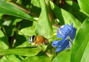 Blue Banded Bee - Amegilla cingulata - 7 Nov 2017