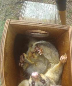 Brushtail in box - Fox Gully Bushcare