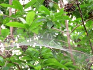 Dome Tent Spider - Cyrtophora moluccensis - 2 Jan 2018