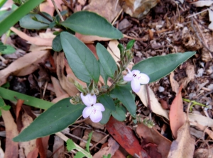 Love Flower - Pseuderanthemum variable - 1 Jan 2018