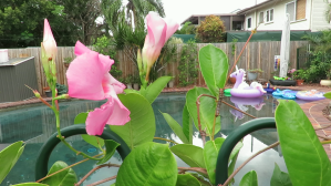 Mandevilla - Giant Pink - 5 Jan 2018
